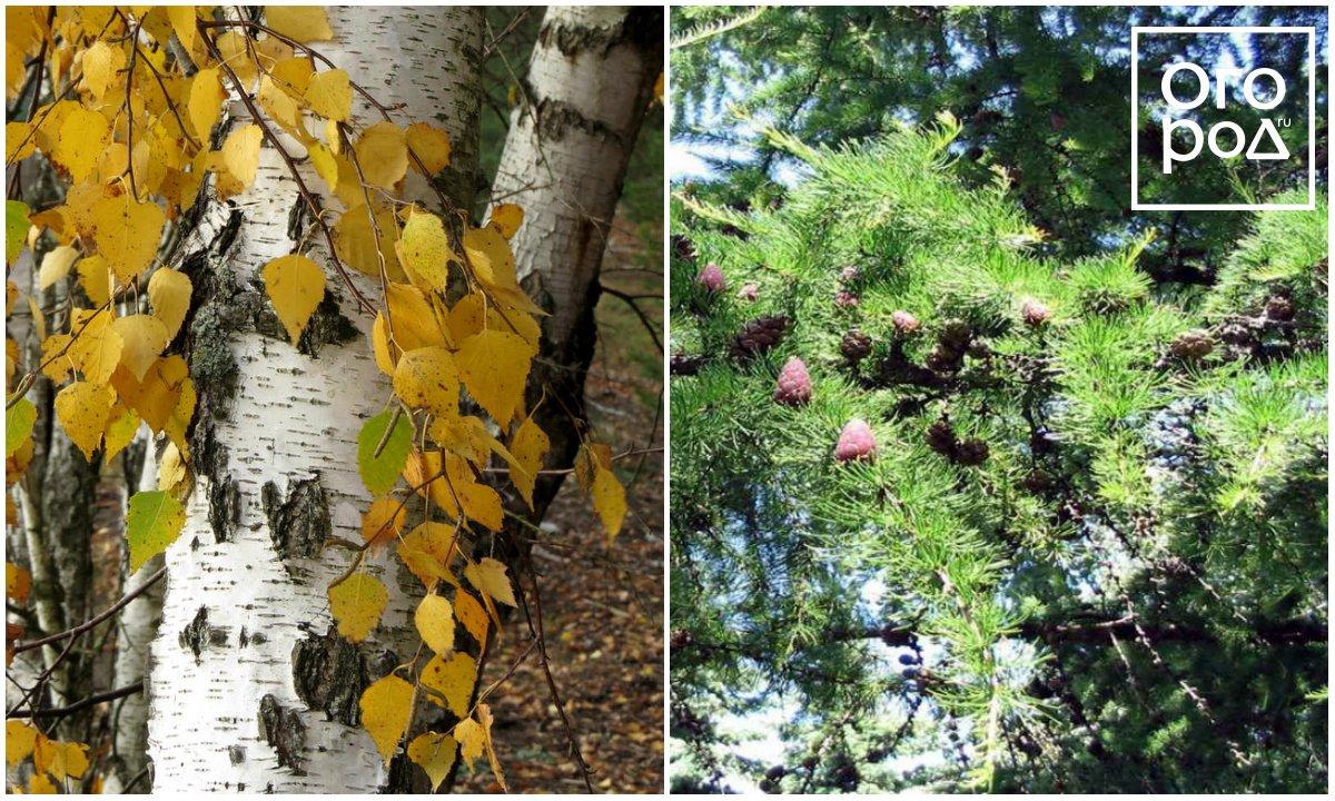 Aspen birçok efsaneye sahip bir ağaçtır